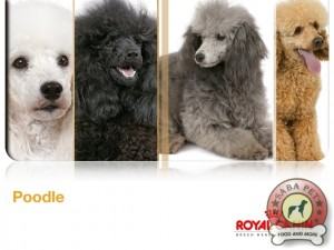 royal canin poodle ad 19042-003
